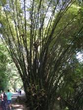 Bambúes en la vía a Ocumare