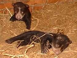sos frontinos nacidos en cautiverio en el zoológico 'Gustavo Rivera' de Paraguaná Foto: Héctor Aguilar