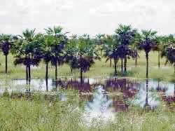 Palmeras en Estero de Camaguán