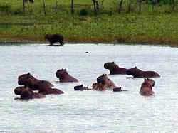 Chigüires a las orillas de una laguna