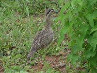 La Dara es una de las aves que abundan en la región