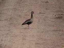 Pato durante la época de sequía