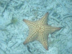 Estrella de mar - Foto cortesía de Felix Antonio Hernandez Medina