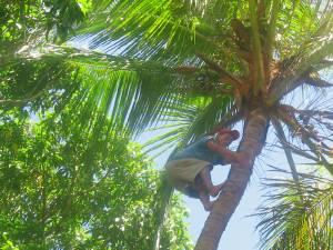 Hombre buscando cocos