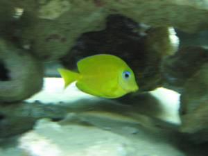 Corocoro amarillo