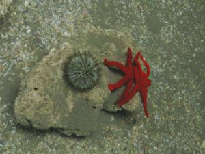 Estrella de mar y erizo