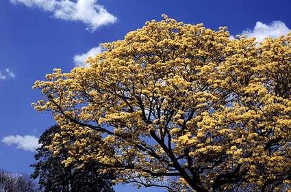 El Araguaney - Venezuela Tuya