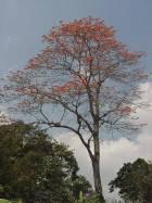 Árbol gigante en Carrizales